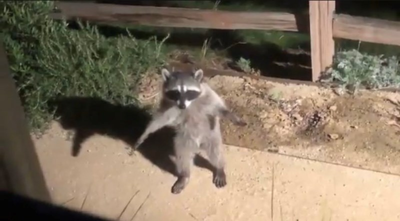 funny raccoons getting busted video | raccoon standing on its hind legs in a funny way
