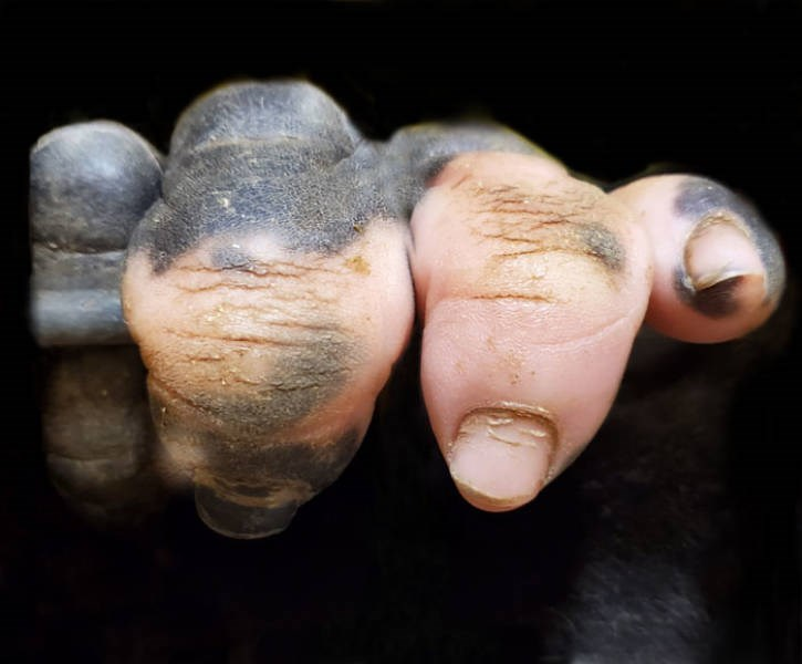 gorilla anaka fingers pigment humanlike crazy evolution wow | gorilla fingers with the dark pigment fading into a light human skin tone
