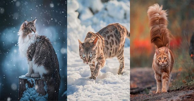 spicy trio cats instagram gorgeous forest norwegian bengal maine coon cute aww | beautiful cats of different breeds posing in snowy surroundings
