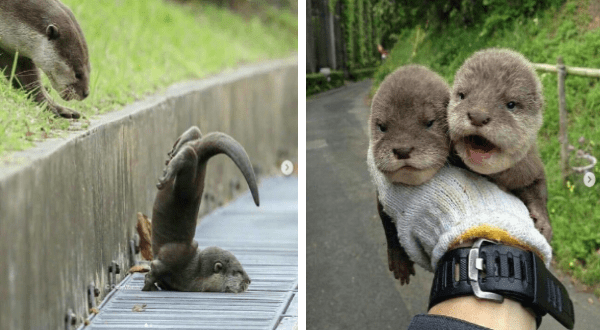 cute photos and video of otters on instagram | baby otter that has landed on its face with its legs and tail in the air. two cute otters being held in one hand.