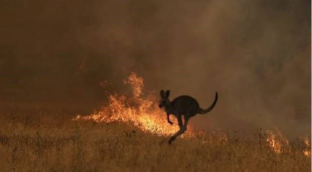 animals australia fire news heartbreaking devastating koalas kangaroos | kangaroo jumping in front of a fire in a field