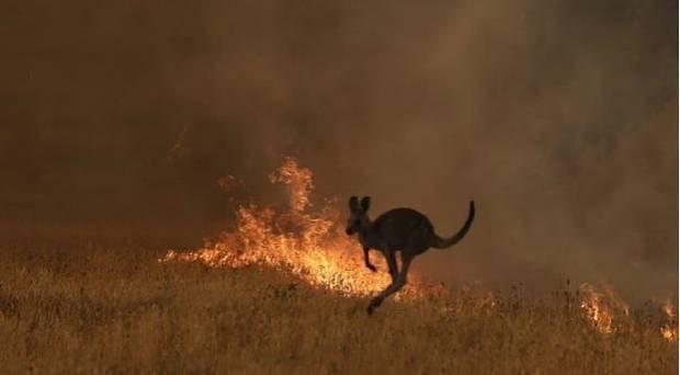 animals australia fire news heartbreaking devastating koalas kangaroos | kangaroo jumping in front of a fire in a field