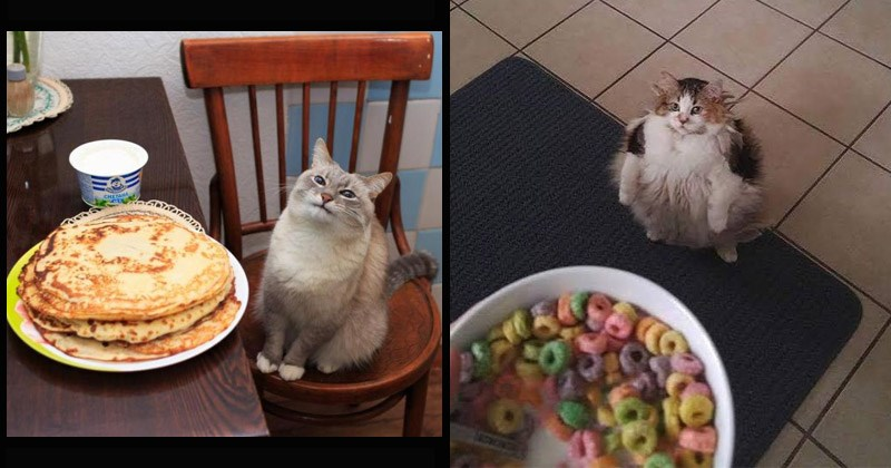 The most popular cat memes and pictures from the last decade | happy cat sitting on a chair next to a plate of pancakes. chonky fluffy cat standing on its hind legs and looking up at a bowl of fruit loops.