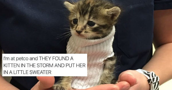 petco,twitter,petsmart,kitten,sweater,Cats,rescue