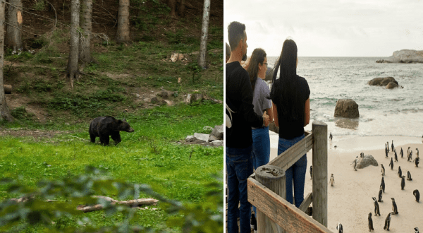 animal tourism with airbnb | a black bear walking in the woods. people standing on a balcony watching penguins on a beach.