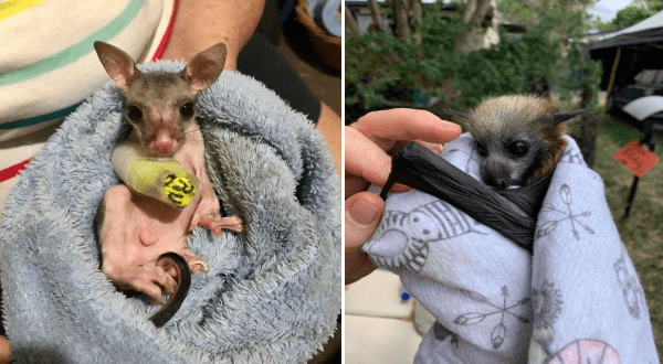 photos of animals rescued from the Australian fires | adorable baby animal with big ears and a tail wearing a cast on one of its legs. small bat wrapped up in a blanket.