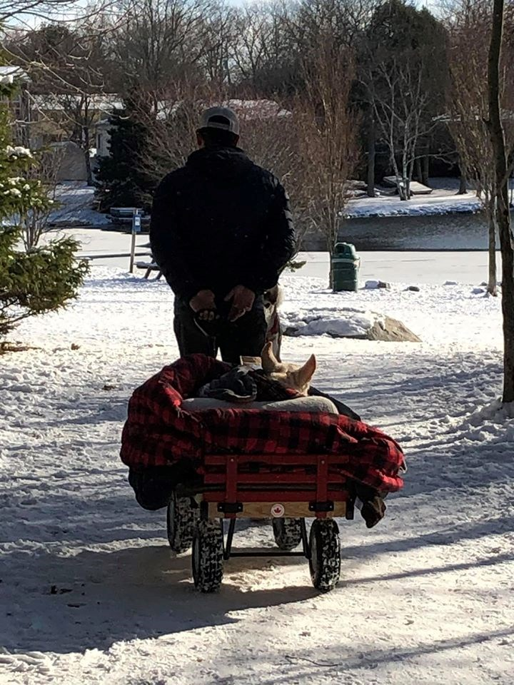 man carries his paralyzed dog | ears of a dog sticking out from a pile of blanket inside a wagon pulled by a man
