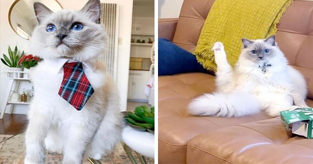 instagram cats aww cute bear president 2020 videos pics | cute ragdoll cat wearing a tartan print tie. same cat caught mid wash raising a leg up