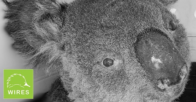 How to help the wildlife in Australia bushfire | closeup photo of a koala and the logo of the wires operation
