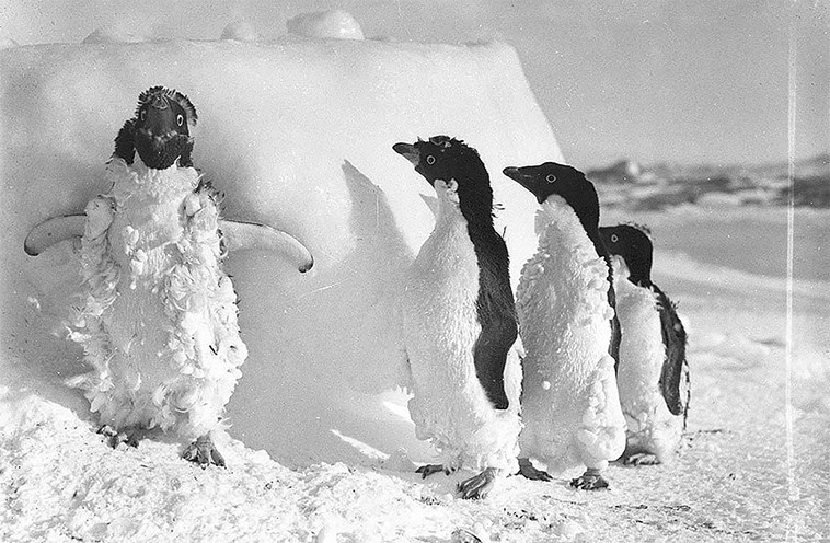 vintage photos of Antarctica expedition | black and white photo of a fluffy penguin with its wings spread while three less ruffled penguins watch