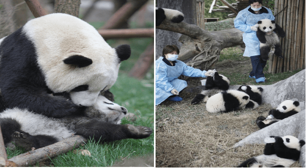 panda research base in China | cute pic of a mama panda bear snuggling her baby. pic of two caretakers in blue robes and face masks working in a fenced off area filled with panda babies.