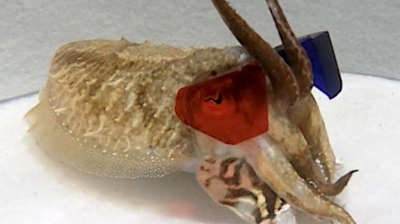 scientists put 3d glasses on cuttlefish and let it lose in an underwater movie theater to study how it reacts to and seeks outs its prey while hunting, by training them to wear the glasses and follow the shrimp. The cover photo is of a cuttlefish with 3d glasses on circa 1990 in a recent study