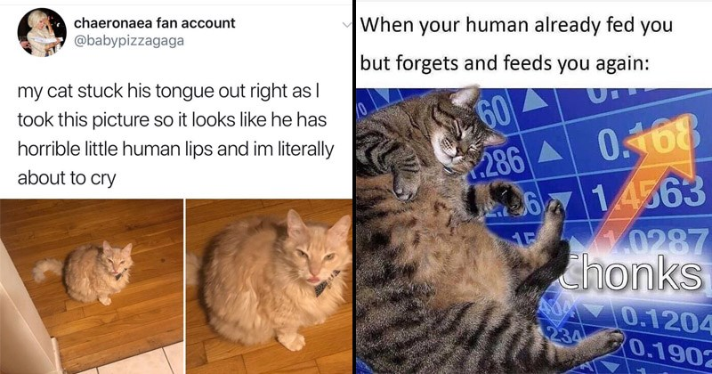 Funny memes and Tumblr posts about cats | tweet by babypizzagaga my cat stuck his tongue out right as took this picture so looks like he has horrible little human lips and im literally about cry. stonks meme with meme man replaced by a chonky cat: human already fed but forgets and feeds again