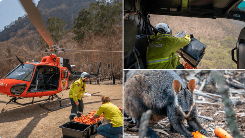 air dropping food for animals in danger | people in safety jackets and helmets fly a red helicopter above australian bush dropping carrots to wallabies in the wild