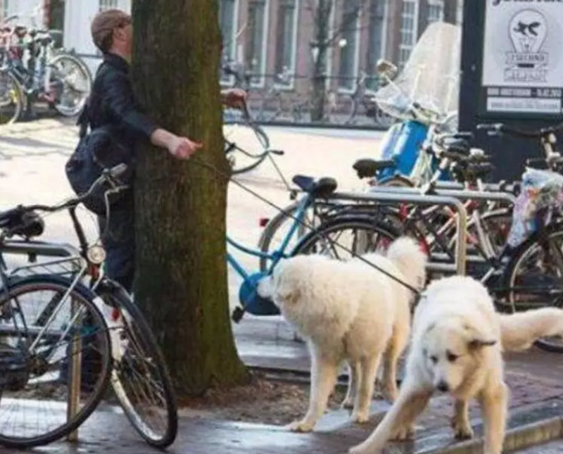 People having a really bad day | street funny fail two big white dogs on leashes each going around a tree from a different direction and causing the person walking them to crash into the tree