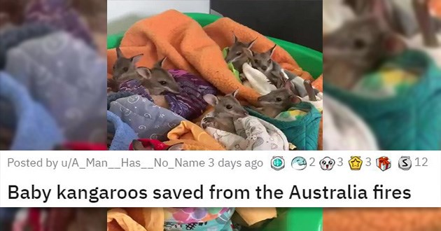 cute animals aww cuteness overload cats dogs | multiple baby kangaroos wrapped in blankets and placed in a big container. posted by A_Man__Has__No_Name Baby kangaroos saved from the Australia fires