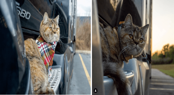 tora the truck cat travels the US   cat wearing a tartan bandanna sitting on the ledge of a car looking outside. same cat looking toward the camera.