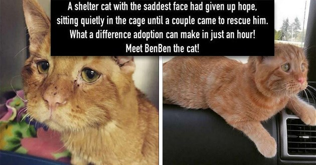 cat rescue sad shelter happy aww cute heartwarming tearjerker animals cats benben | sad looking orange cat with a saggy face shelter cat with saddest face had given up hope, sitting quietly cage until couple came rescue him difference adoption can make just an hour! Meet BenBen cat!