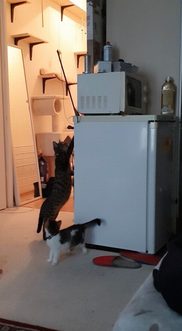 cats kitten siblings cute helping viral video reddit cat adorable | small kitten watching as a bigger cat stretches up the side of a mini fridge to reach a stuck toy