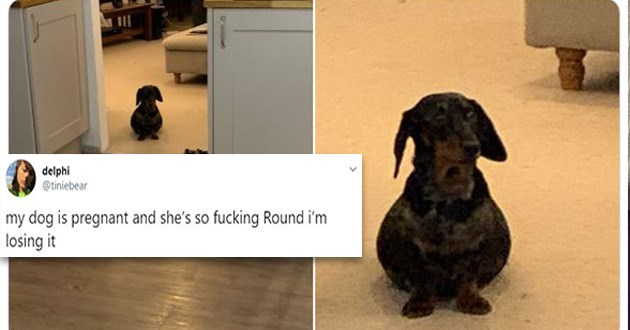 pregnant dachshund round funny lol cute adorable tweets twitter animals | tweet by tiniebear my dog is pregnant and she's so fucking Round losing. very fat round wiener dog that looks like it swallowed a ball
