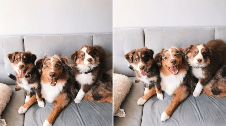 Funny things Australian shepherds are doing. cute pics of three fluffy dogs with a brown and white coats and light colored noses posing together.