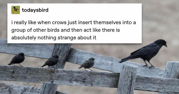 funny tumblr crow thread birds lol | todaysbird really like crows just insert themselves into group other birds and then act like there is absolutely nothing strange about. pic of a crow standing on a fence next to three small birds sparrow like