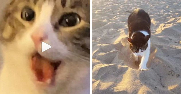 cats cute funny videos instagram cat lol animals kitens kitten   frame from a video of a cat opening its mouth. black and white cat walking in the sand on a beach.