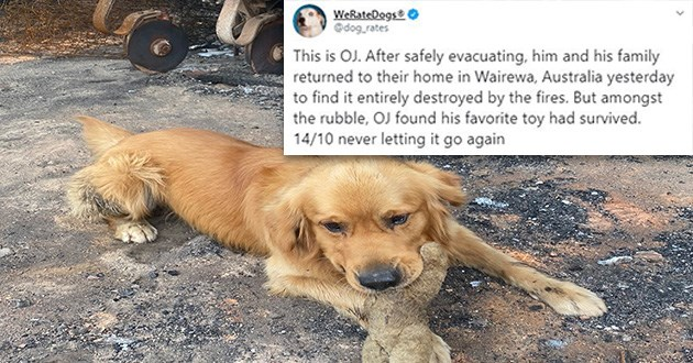 tweets twitter dog toy wholesome australia bushfires | tweet by dog_rates This is OJ. After safely evacuating, him and his family returned their home Wairewa, Australia yesterday find entirely destroyed by fires. But amongst rubble, OJ found his favorite toy had survived. 14/10 never letting go again. photo of a golden retriever lying on ashy ground chewing on a plush toy