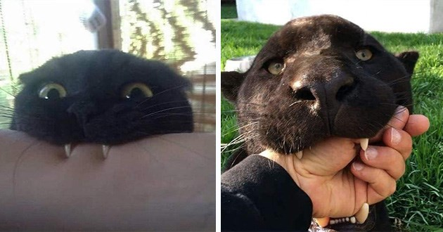 black cats cute funny animals wildcats domestic aww lol panthers | funny pic of a black cat biting a person's arm next to another pic of a panther similarly biting on a person's fist