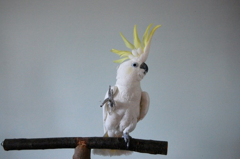this cockatoo taught itself to dance because it likes dancing