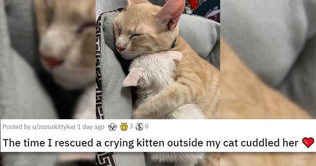 cute cuteness animals cats dogs cat aww adorable videos gifs pics   adult cat sleeping while snuggling a tiny white kitten The time I rescued a crying kitten outside my cat cuddled her