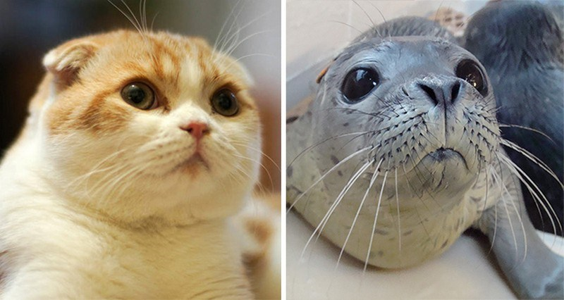 copy cats photos | cute fluffy cat with big eyes and tiny ears and a seal with long whiskers both both photographed in similar poses