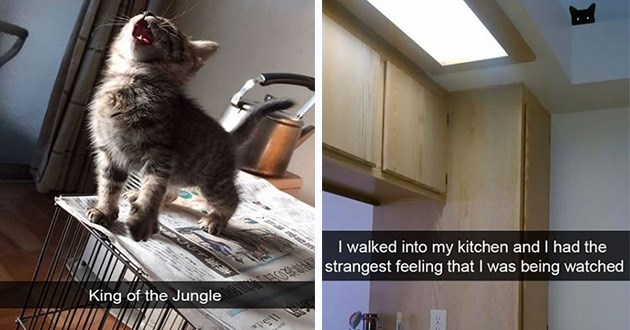 cats snapchat lol funny snap cute aww adorable animals kittens cat kitty | kitten standing on top of a cage and roaring: King Jungle. head of a black cat barely visible peeking down from a ledge near the ceiling: walked into my kitchen and had strangest feeling being watched