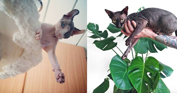 Cats sphynx hairless - 1037317