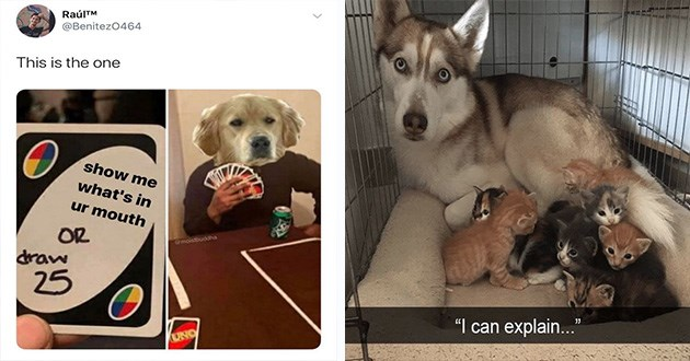 dog memes doggo funny lol cute aww adorable silly goofy dogs animals | tweet by Benitez0464 This is one show s ur mouth OR draw 25 UNO dog holding a handful of uno cards. husky dog with a litter of kittens looking at the camera can explain