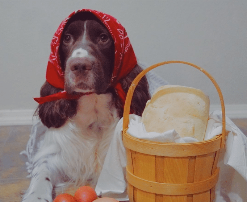 funny babushka dogs | cute cocker spaniel dog wearing a red handkerchief around it head sitting next to a wicker basket with a block of cheese and some eggs laid beside it