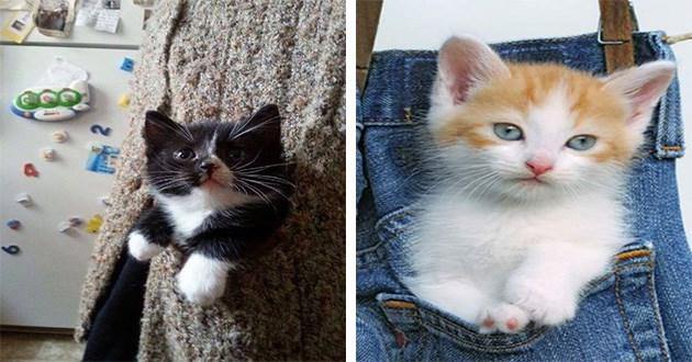 pocket kittens aww cute cats cat animals pics vids adorable small | sweet black and white kitten with its head and paws peeking out from the pocket of a knitted sweater. cute white kitten with ginger spots inside a jeans pants pocket
