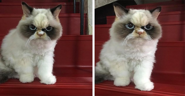 cats grumpy angry lol funny cute adorable animals aww fuzzy fluffy round eyes mean expression grump angry