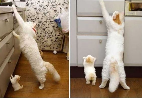 cute cats aww cat kittens identical doppelganger pictures twins twinning | pics of an adult fluffy white cat stretching up to reach the top of the kitchen counter next to a tiny identical kitten attempting to do the same