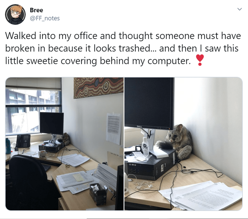 Cute Possum Trapped in an Office | tweet by ff_notes walked into my office and thought someone must have broken in because it looks trashed... and then i saw this little sweetie covering behind my computer