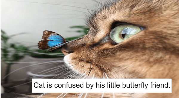Wholesome cat posts | cat is confused by his little butterfly friend. closeup photo of a blue butterfly that landed on a cat's nose