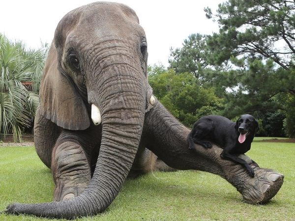 Twenty Unlikely Animal Friendships Caught On Camera | pic of an elephant lounging on grass with one leg outstretched and a black dog resting on top of it