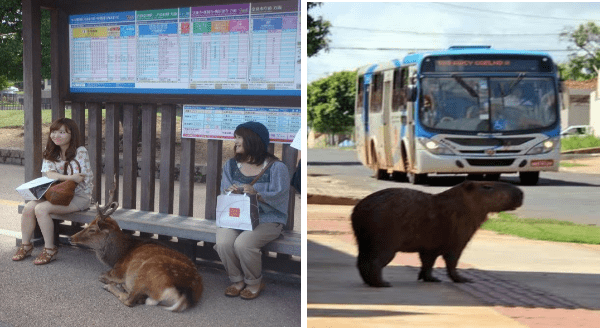 cute animals waiting for their bus | two ladies holding bags sitting on a bunch at a bus stop and a deer curled on the ground between them. capybara standing on the sidewalk as a bus approaches.