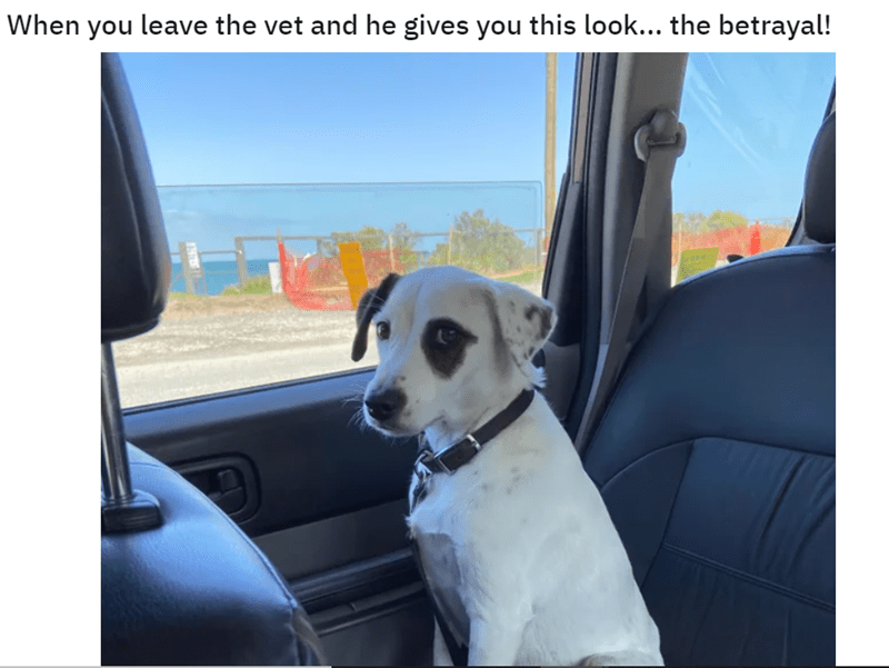 Photos of Dogs feeling betrayed when going to the vet | dog sitting in the backseat of a car looking accusingly at the camera leave vet and he gives this look betrayal!