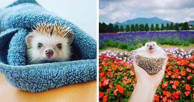 hedgehogs cute aww instagram adventures adorable animals | little hedgehog wrapped in a blue towel, hedgehog held on its back in somebody's palm in front of a field of flowers