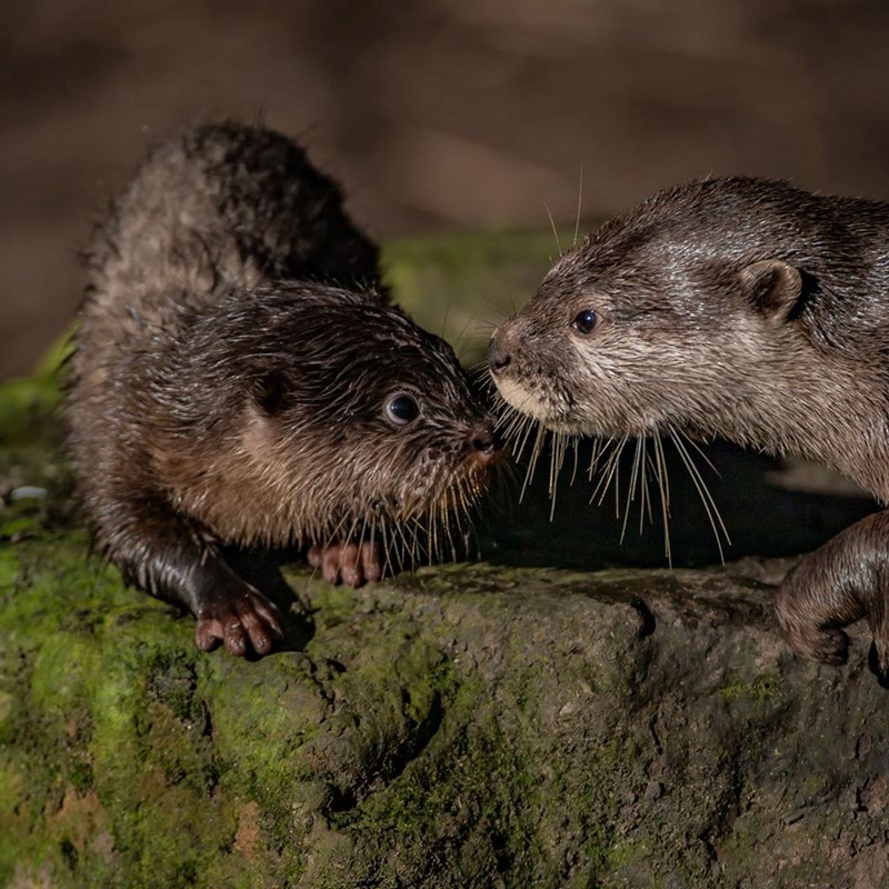 Five Baby Otters were born in the zoo | two cute otters face to face on a mossy rock, one of them wet and crouching down, first time learning to swim in a pool