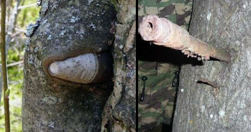 Trees that grew around objects | photos of an old canon ball or some other kind of projectile that is visibly aged and rusting stuck inside a tree trunk that grew around it