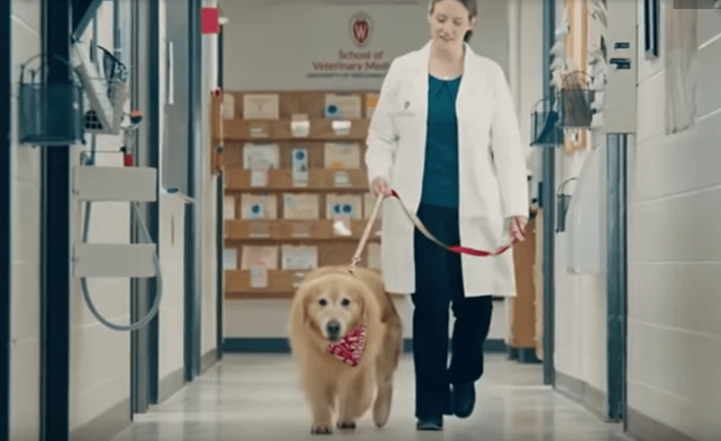 Dog Owner Thanks Vet School For Saving His Dog's Life With a Multi millions Super Bowl Ad | cute golden retriever wearing a red bandanna around its neck being led on a leash down a hall
