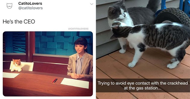 funny cat memes caturday lol cat animals | cat sitting at a table in front of a piece of paper next to a woman in a dress shirt and a blazer: CatitoLovers @catitolovers He's CEO @CATITOLOVERS. cat looking straight ahead while another cat stands very close to it: Trying avoid eye contact with crackhead at gas station