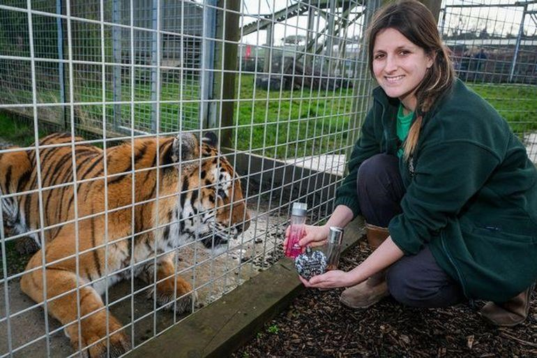 Zoo Asks For Perfume Donations For Big Cats | large tiger sitting in a cage as a woman in a green sweatshirt kneels beside it while holding perfume bottles and smiling at the camera